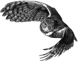 Spotted_owl_in_flight_sml.jpg